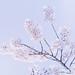 Cherry blossom by 96dpi