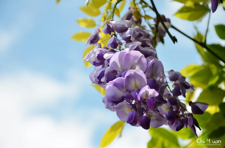 竹子湖紫藤09.jpg