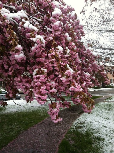 April snow, fallen petals by Michael Tinkler