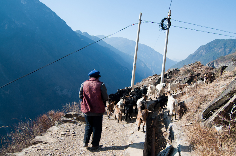 Goat traffic at Tiger Leaping Gorge