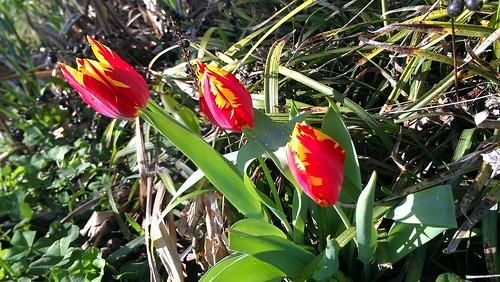 Tulips from my front flower bed