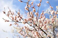 ピンクの八重の梅