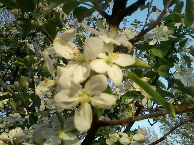 Blurry Apple Blossoms