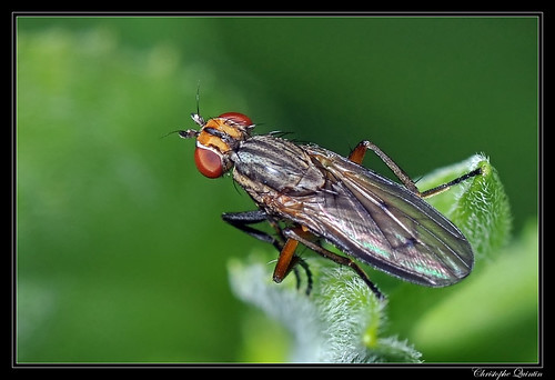 Pherbellia cinerella