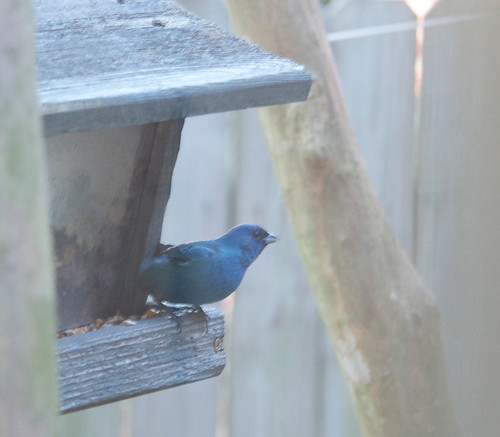Blue Bunting at the feeder outside our kitchen window on 22 April 2012