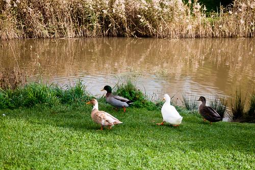 Ducks at the Richmond Bridge