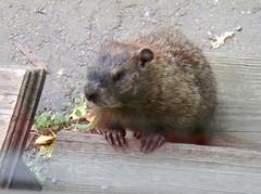 animal, rodent, fauna, degu, whiskers, gerbil,