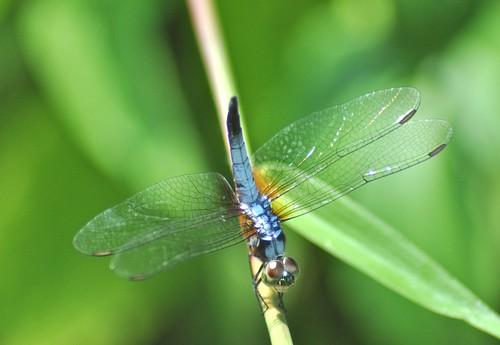 dragonfly johor muar westmalaysia