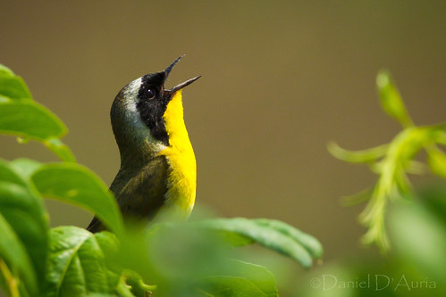 Common Yellowthroat (Geothlypis trichas) at Forsythe NWR 7164