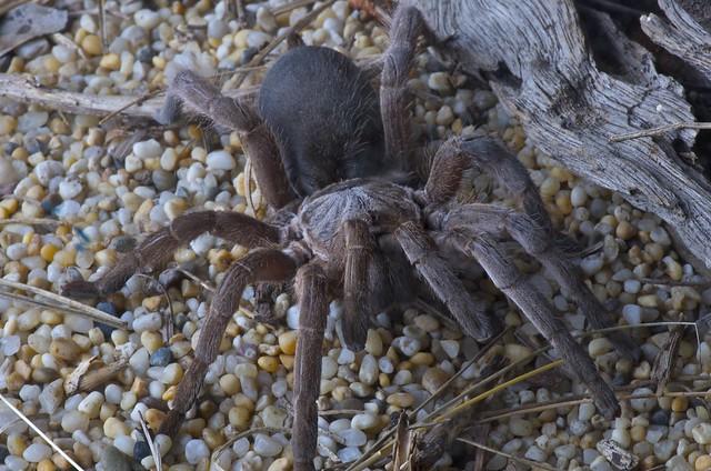 Australian Spiders Eat...
