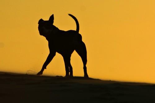 Koira sunset play