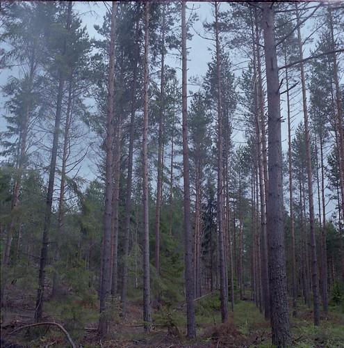 svartsö trees