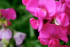 snapdragon(0.0), annual plant(1.0), flower(1.0), macro photography(1.0), flora(1.0), lathyrus latifolius(1.0), pink(1.0), petal(1.0),