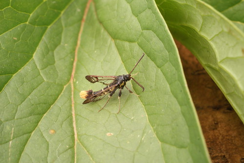 Orange-tailed Clearwing (Synanthedon andrenaeformis)