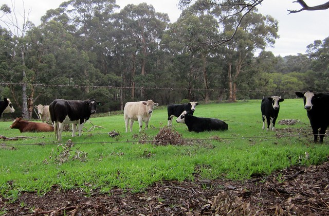 Cows at Leeuwin winery, Western Australia