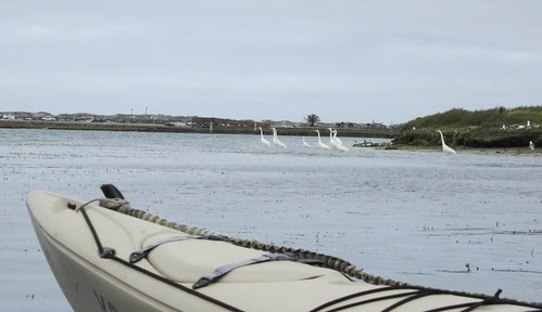 White Egrets on Elkhorn Slough