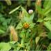 Trifid bur-marigold - Photo (c) Tony Frates, some rights reserved (CC BY-NC-SA)