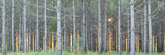 Forest Fire PANO