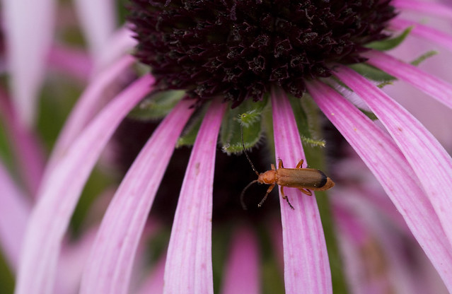 coneflower visitor