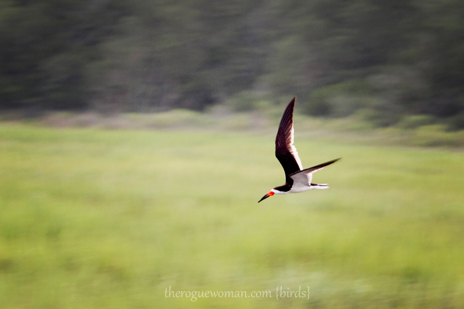072512_02_bird_blackSkimmer01