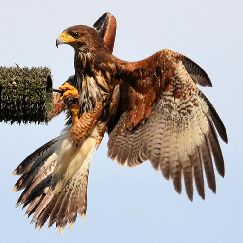 canada zoo hawk britishcolumbia landing raptor aldergrove harrisshawk greatervancouverzoo gvzoo nikond7000 nikkor18to200mmvrlens