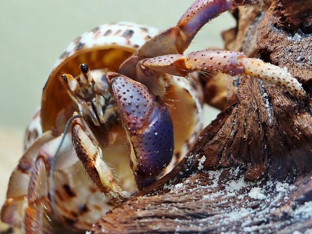 Hermit Crab - 2012