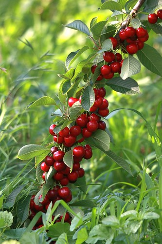 cherries-laden