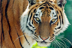 [Free Images] Animals 1, Tigers ID:201208221000