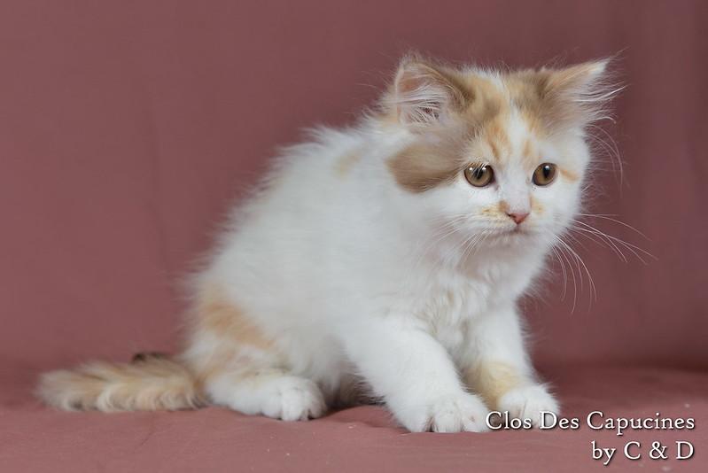 chaton british longhair cinnamon tortie et blanc arlequin