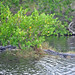 Small photo of American alligators (Alligator mississippiensis)