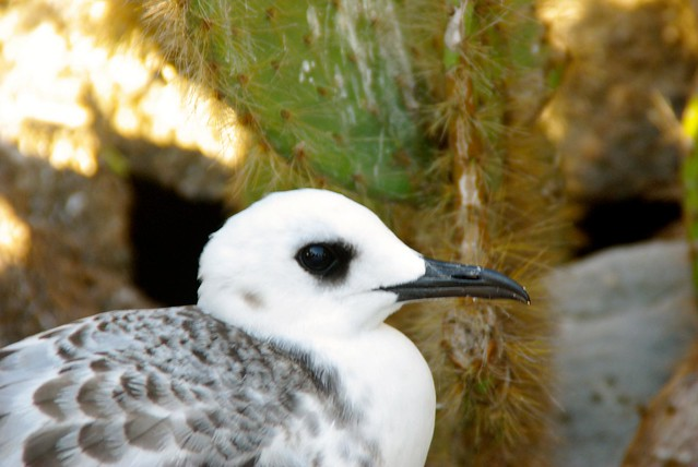Juvenile Swallow-tailed Gull in Galapagos