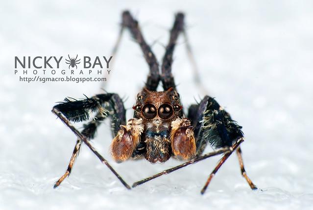 Jumping Spider (Portia sp.) - DSC_5828