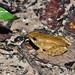 柯丁誌_腹斑蛙變態小蛙