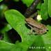 林建鳴_貢德氏赤蛙小蛙