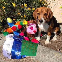 Dylan does it for RAE leg #10!!! He earned his RAE title!! He won Excellent with a 97 and he got a 89 in Advanced!! He kicked butt in all 5 trials in 4 days and was the best little beagle boy!! I am beyond proud of my little guy! ❤️❤️