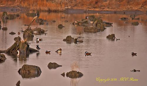 "sunset nature birds animal creek reflections landscape wildlife ducks meadowlands marsh stumps magichour goldenhour mergansers hoodedmerganser marsh"" northernshovelers ""mill nj"" cedarstumps ""secaucus"