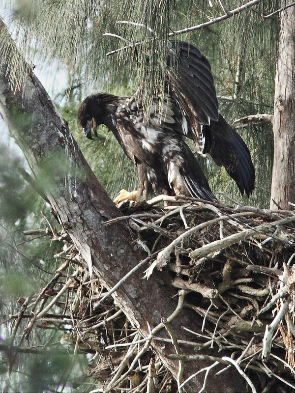 Bald Eaglet Glory alone on nest 3-20140404