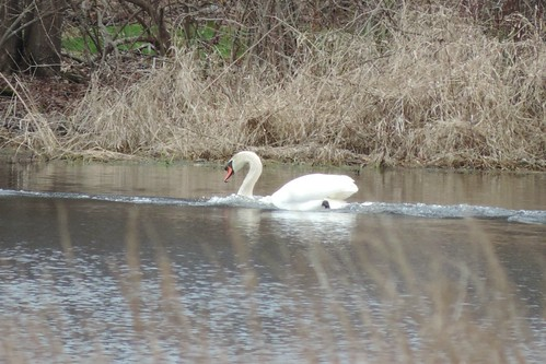 #40 Mute Swan (Cygnus olor)