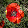 Rosella. Amapola. Poppy red