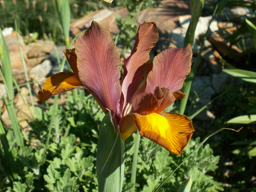 Iris x hollandica 'Lion King'
