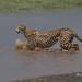 Cheetah female crossing arm of Lake Ndutu 0R7E4445 by WildImages