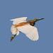 Squacco Heron (R. Davidson)