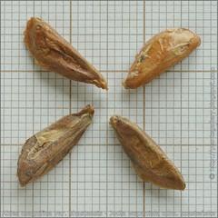 Abies magnifica var. shastensis seeds - Jodła wspaniała odm. szasteńska  nasiona