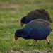 Small photo of Tiritiri Matangi Takahe