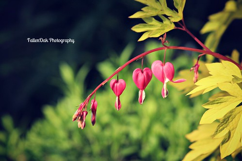 Bleeding hearts..