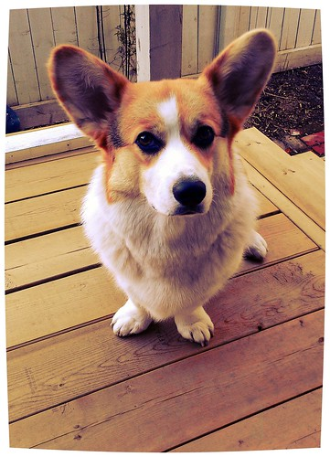 Porch Corgi