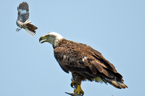 Bald Eagle Harassed by Northern Mockingbird