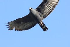 Zone-tailed Hawk 1