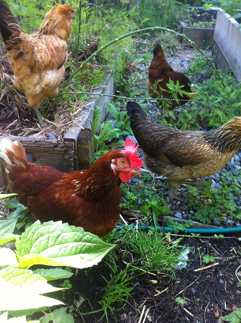 Chickens in the Asparagus Bed