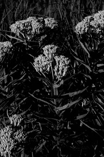 Butterfly Weed_9873_.jpg